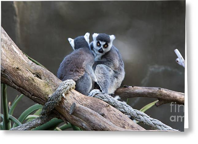 Lemur's Greeting Card by Shannon Rogers