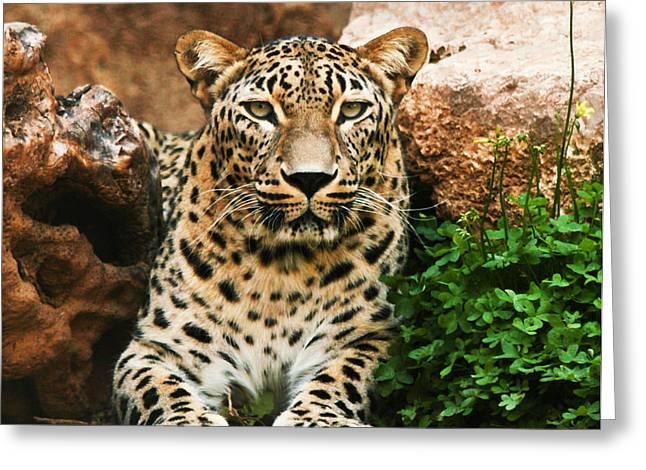 Leopard Greeting Card by Amr Miqdadi