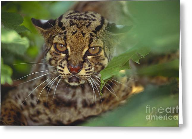 Leopard Cat Greeting Card by Art Wolfe
