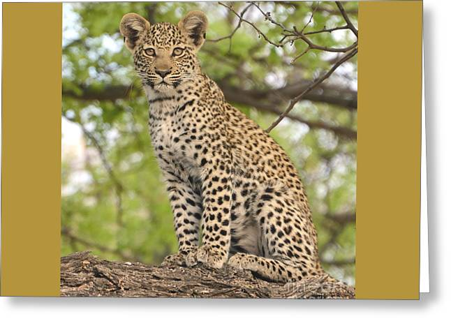Leopard Cub Gaze Greeting Card by Tom Wurl