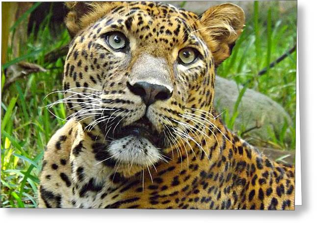 Leopard Face Greeting Card by Clare Bevan