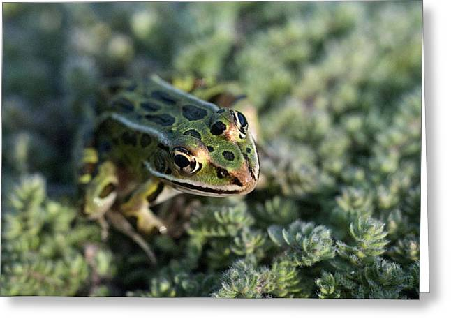Leopard Frog In Wooly Thyme Greeting Card