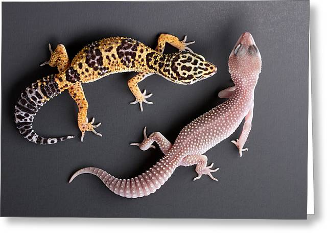 Leopard Gecko E. Macularius Collection Greeting Card by David Kenny