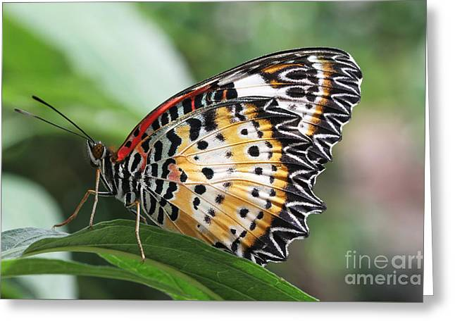 Leopard Lacewing Butterfly Greeting Card by Judy Whitton