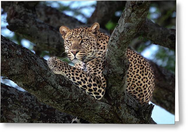 Leopard Male In A Tree In The Serengeti Greeting Card by Maggy Meyer