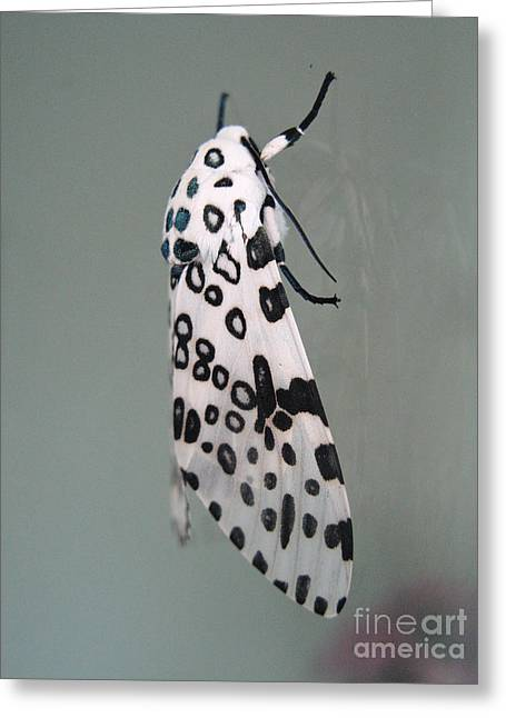Leopard Moth Greeting Card