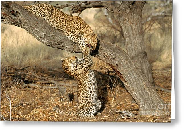 Leopard Panthera Pardus Greeting Card by Art Wolfe