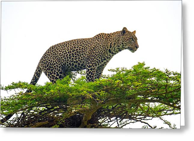 Leopard Panthera Pardus Climbing Greeting Card