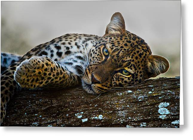 Leopard Panthera Pardus Lying Greeting Card by Panoramic Images