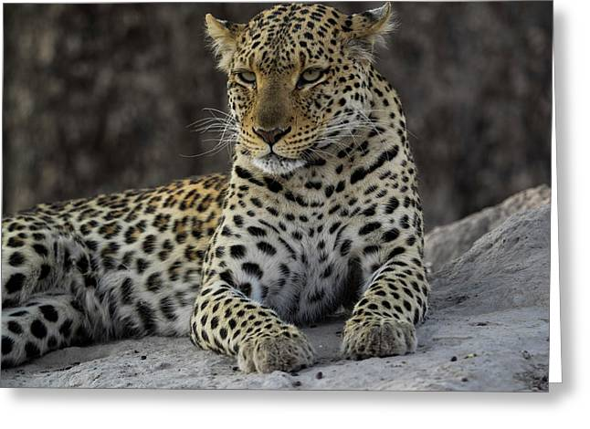 Leopard Panthera Pardus On Termite Greeting Card by Panoramic Images