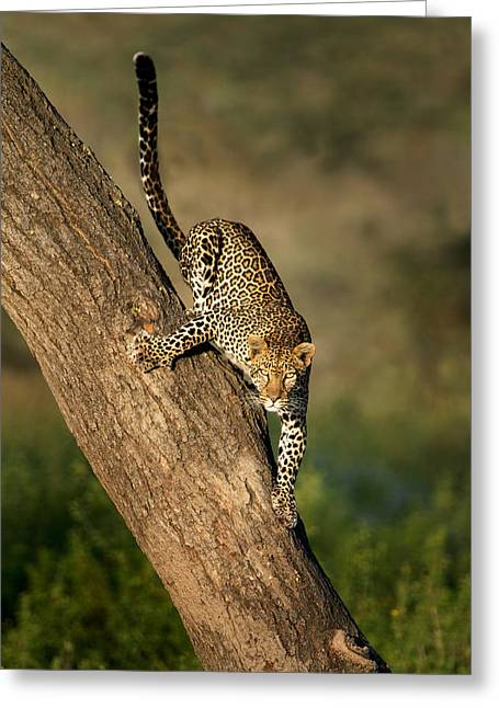 Leopard Panthera Pardus On Tree, Ndutu Greeting Card by Panoramic Images