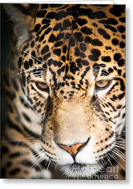 Leopard Resting Greeting Card