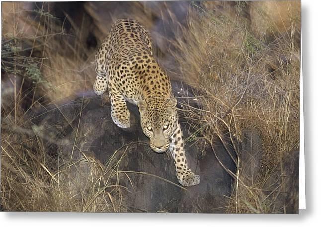 Leopard Running At Dusk Etosha Np Greeting Card