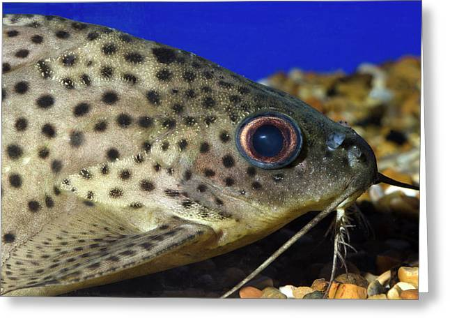 Leopard Sailfin Pleco Greeting Card by Nigel Downer