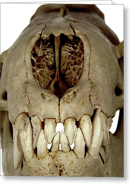 Leopard Seal Skull Greeting Card by Ucl, Grant Museum Of Zoology