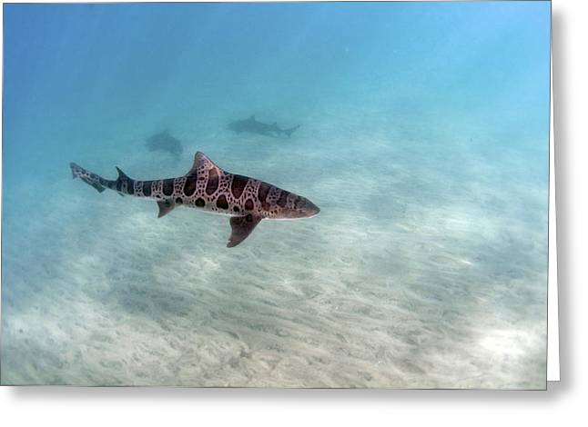 Leopard Shark Greeting Card by Greg Amptman