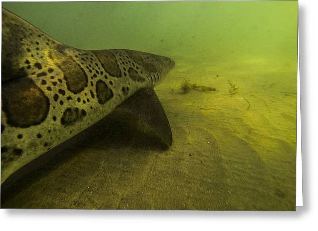 Leopard Shark Greeting Card by Shane Brown