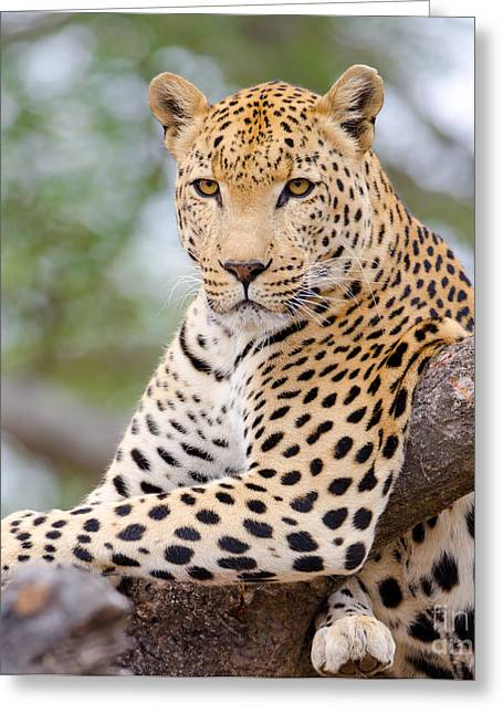 Leopard - South Africa Greeting Card by Birdimages Photography