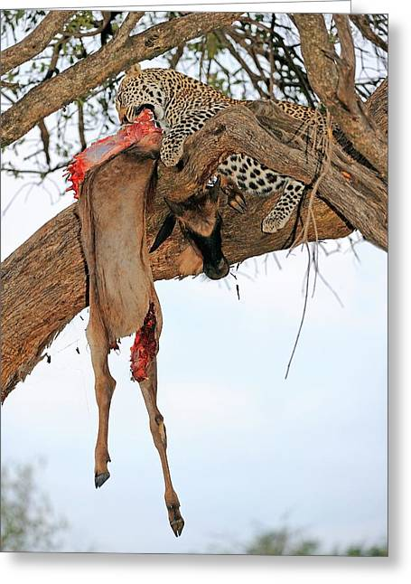 Leopard With Kill Greeting Card