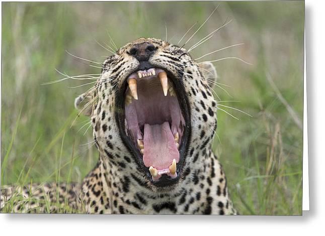 Leopard Yawning Sabi-sands Game Reserve Greeting Card by Sergey Gorshkov