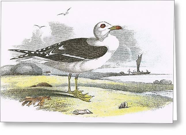 Lesser Black Backed Gull Greeting Card by English School