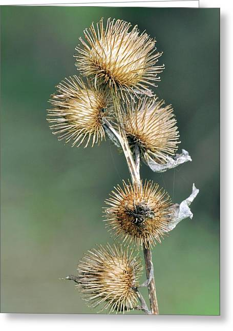 Lesser Burdock (arctium Minus) Seedheads Greeting Card by Colin Varndell