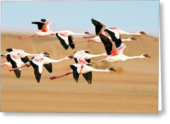 Lesser Flamingoes In Flight Greeting Card by Tony Camacho