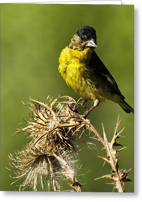 Lesser Goldfinch Milkweed Thistle Greeting Card by James Ahn