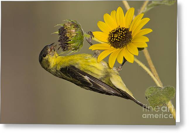 Lesser Goldfinch On Sunflower Greeting Card