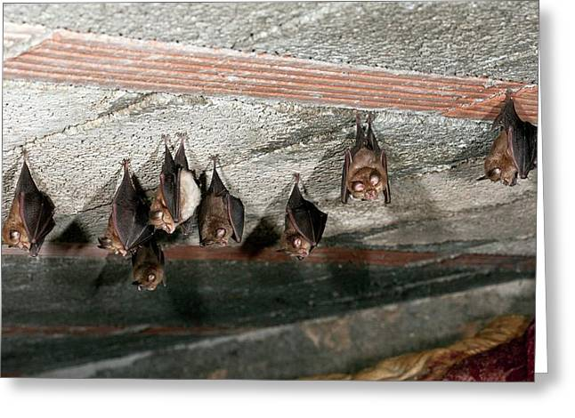 Lesser Horseshoe Bats Roosting Greeting Card by Bob Gibbons