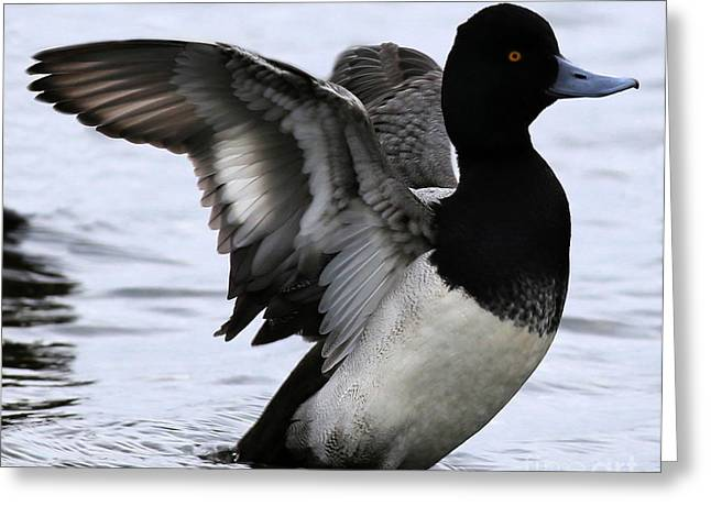Lesser Scaup Duck  Greeting Card