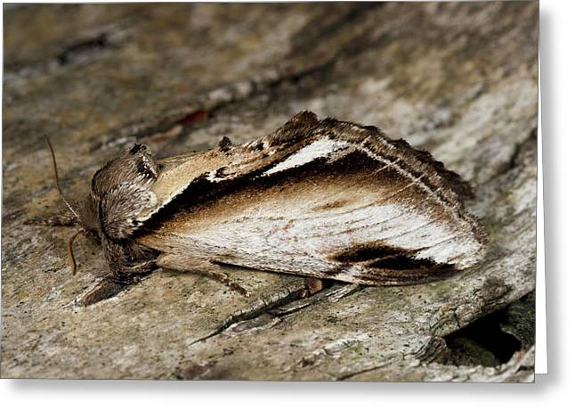 Lesser Swallow Prominent Moth Greeting Card by Nigel Downer