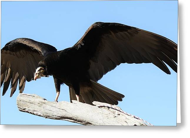 Lesser Yellow Headed Vulture Greeting Card by Paulette Thomas
