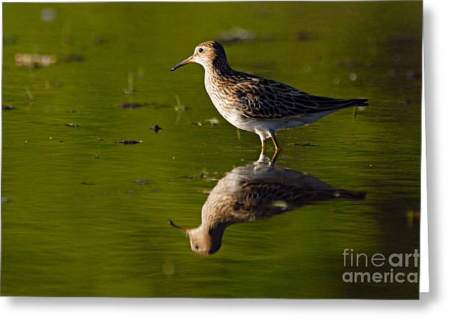 Lesser Yellowlegs Greeting Card by Larry Ricker