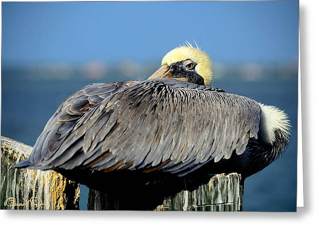 Let Sleeping Pelicans Lie Greeting Card