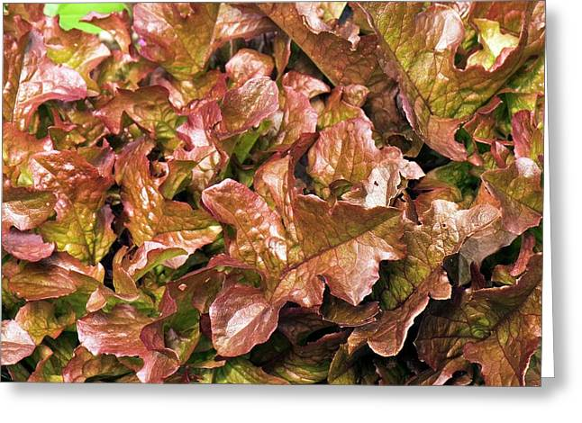 Lettuce 'salad Mix' Greeting Card by Adrian Thomas