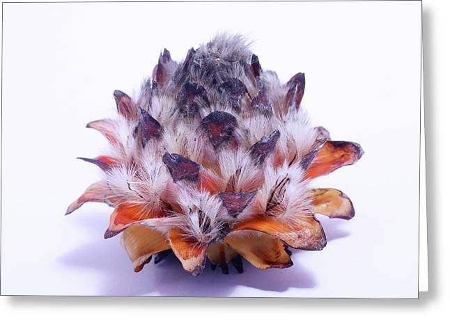 Leucadendron Album Open Seed Head Greeting Card