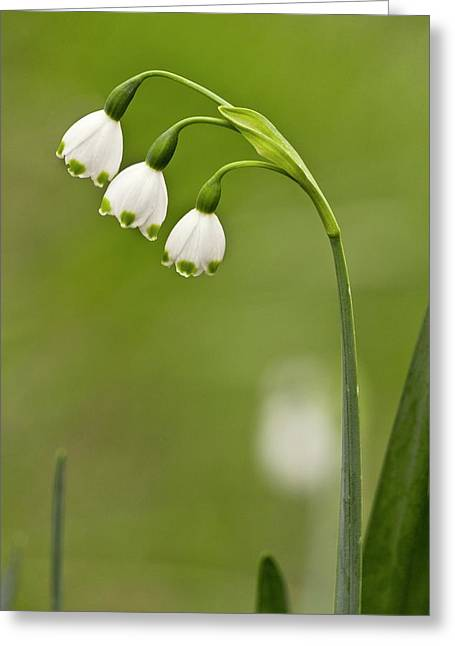 Leucojum Aestivum Pulchellum In Flower Greeting Card by Bob Gibbons