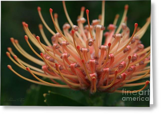 Leucospermum  Pincushion Protea Tropical Sunburst Protea Flower  Greeting Card by Sharon Mau