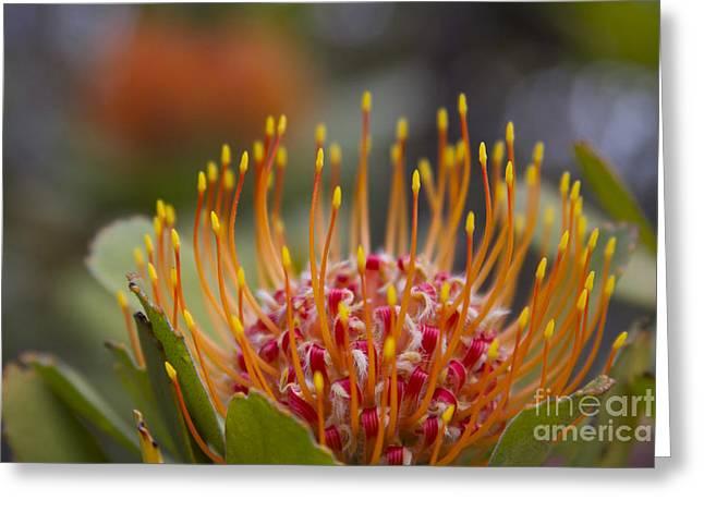 Leucospermum Pincushion Protea - Tropical Sunburst Greeting Card by Sharon Mau