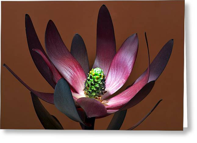 Levcodendron Greeting Card by Terence Davis