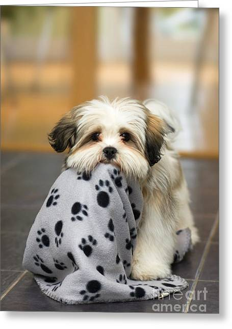 Lhasa Apso Puppy Greeting Card
