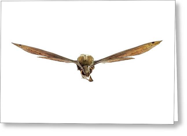 Libya Sphinx Moth Greeting Card by F. Martinez Clavel