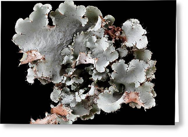 Lichen (canomaculina Sp.) Greeting Card