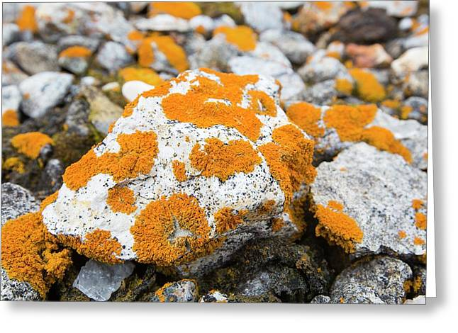 Lichen Covered Pebbles On A Raised Beach Greeting Card by Ashley Cooper