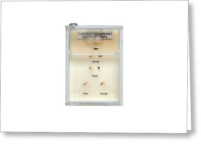 Life Cycle Of Malaria Mosquito Greeting Card by Gregory Davies