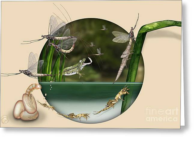 Life Cycle Of Mayfly Ephemera Danica - Mouche De Mai - Zyklus Eintagsfliege - Stock Illustration - Stock Image Greeting Card