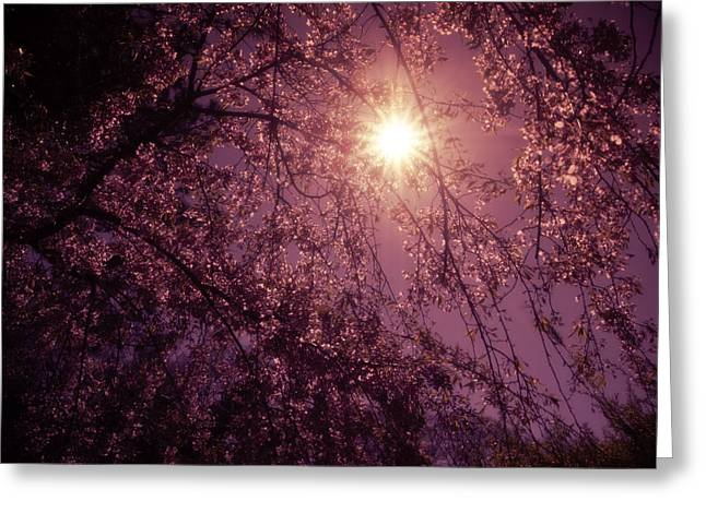 Light And Cherry Blossoms Greeting Card