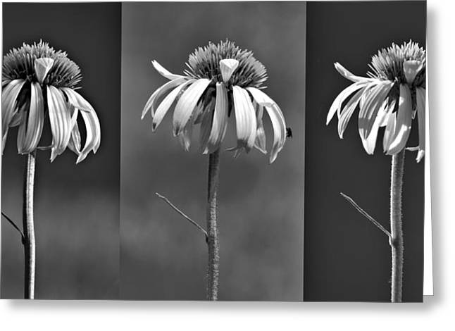 Light Of Day In Black And White Greeting Card by Nikolyn McDonald