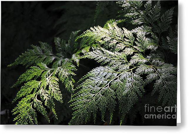 Light On The Fern Greeting Card